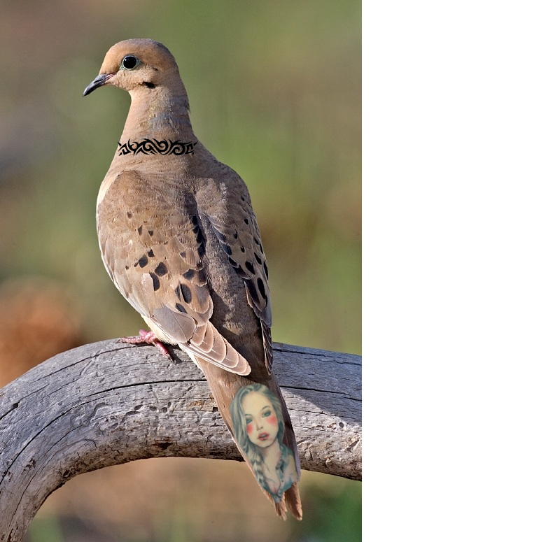 Incredible these birds have young woman tattoos stuck in dc for Mourning dove tattoo