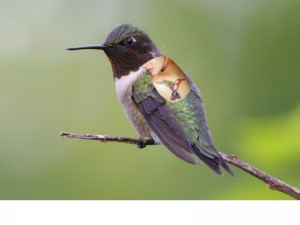 rubyhummingbird (3)